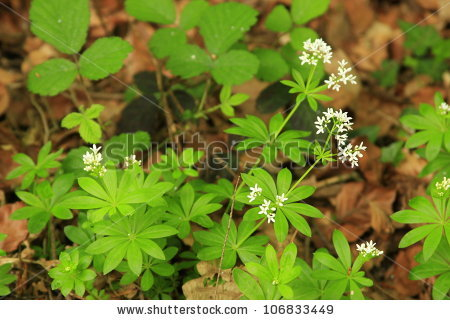 Galium Stock Photos, Royalty.
