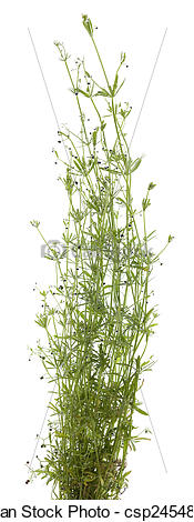 Picture of Galium aparine.