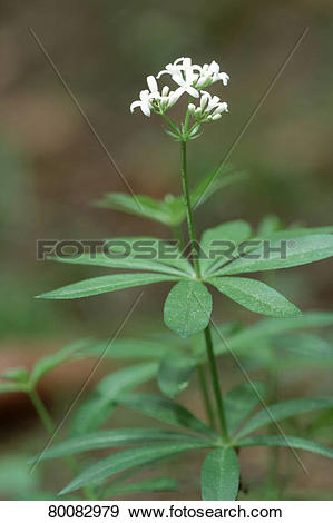 Stock Photograph of DEU, 2004: Sweet Woodruff (Galium odoratum.