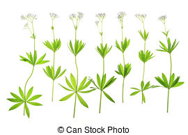 Stock Photo of Bedstraw, Galium aparine.