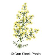 Galium Illustrations and Clipart. 7 Galium royalty free.