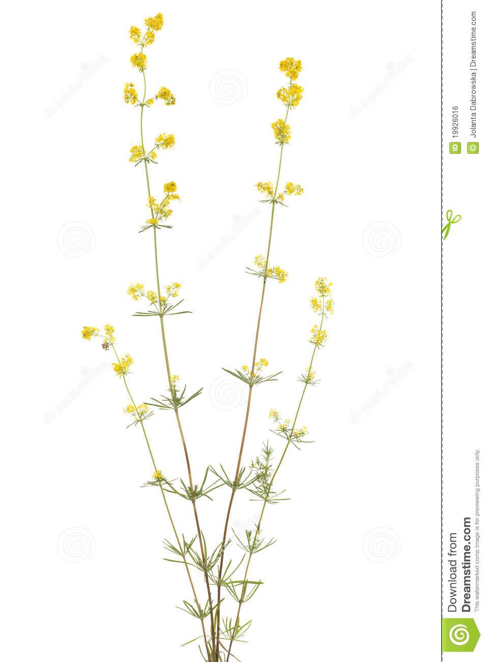 Galium Verum Royalty Free Stock Image.