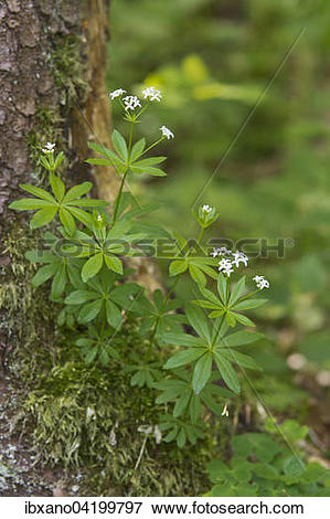 Picture of Woodruff (Galium oduratum), Jagsttal, Bolgental, Baden.
