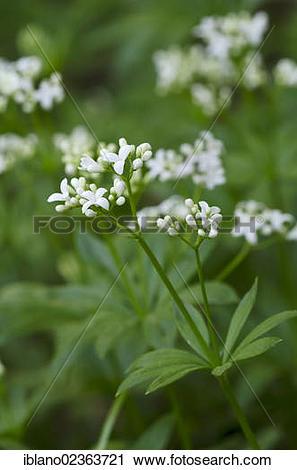 """Stock Photography of """"Sweet woodruff (Galium odoratum."""