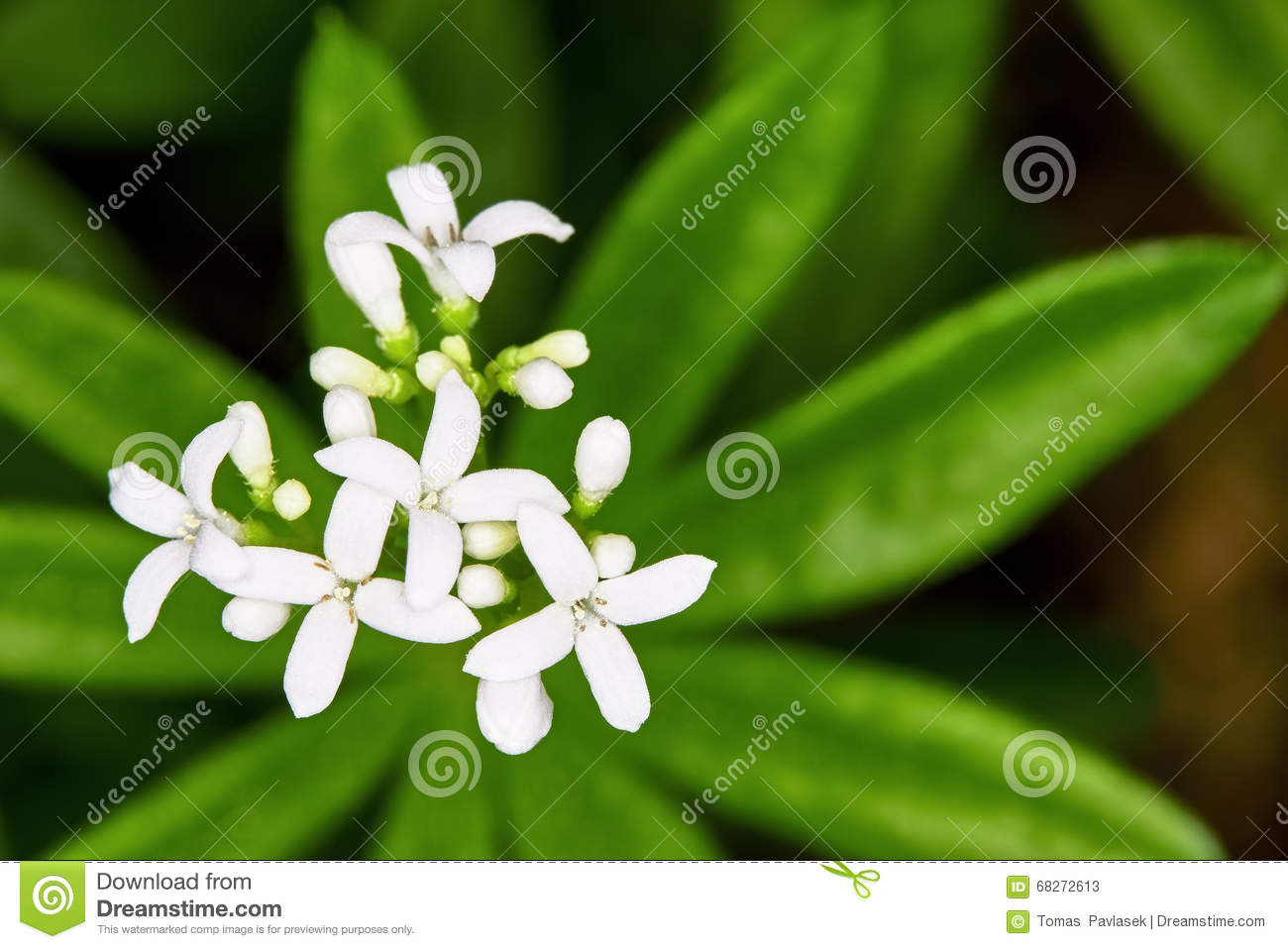 Galium Odoratum Stock Photo.