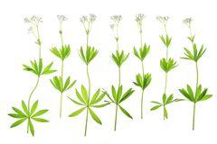 Flowering Woodruff (Galium Odoratum) Royalty Free Stock Photo.