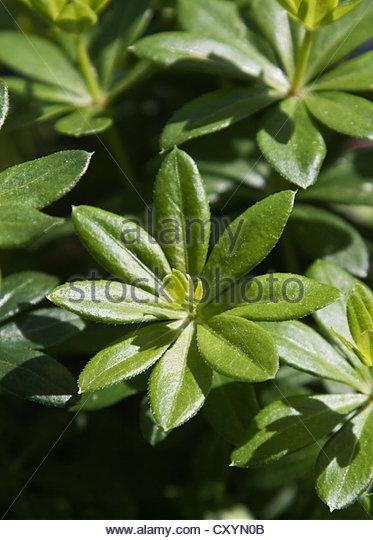 Galium Leaves Stock Photos & Galium Leaves Stock Images.