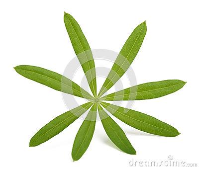 Sweet Woodruff Leaf Royalty Free Stock Photography.