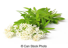 Stock Photography of Woodruff white flowers.