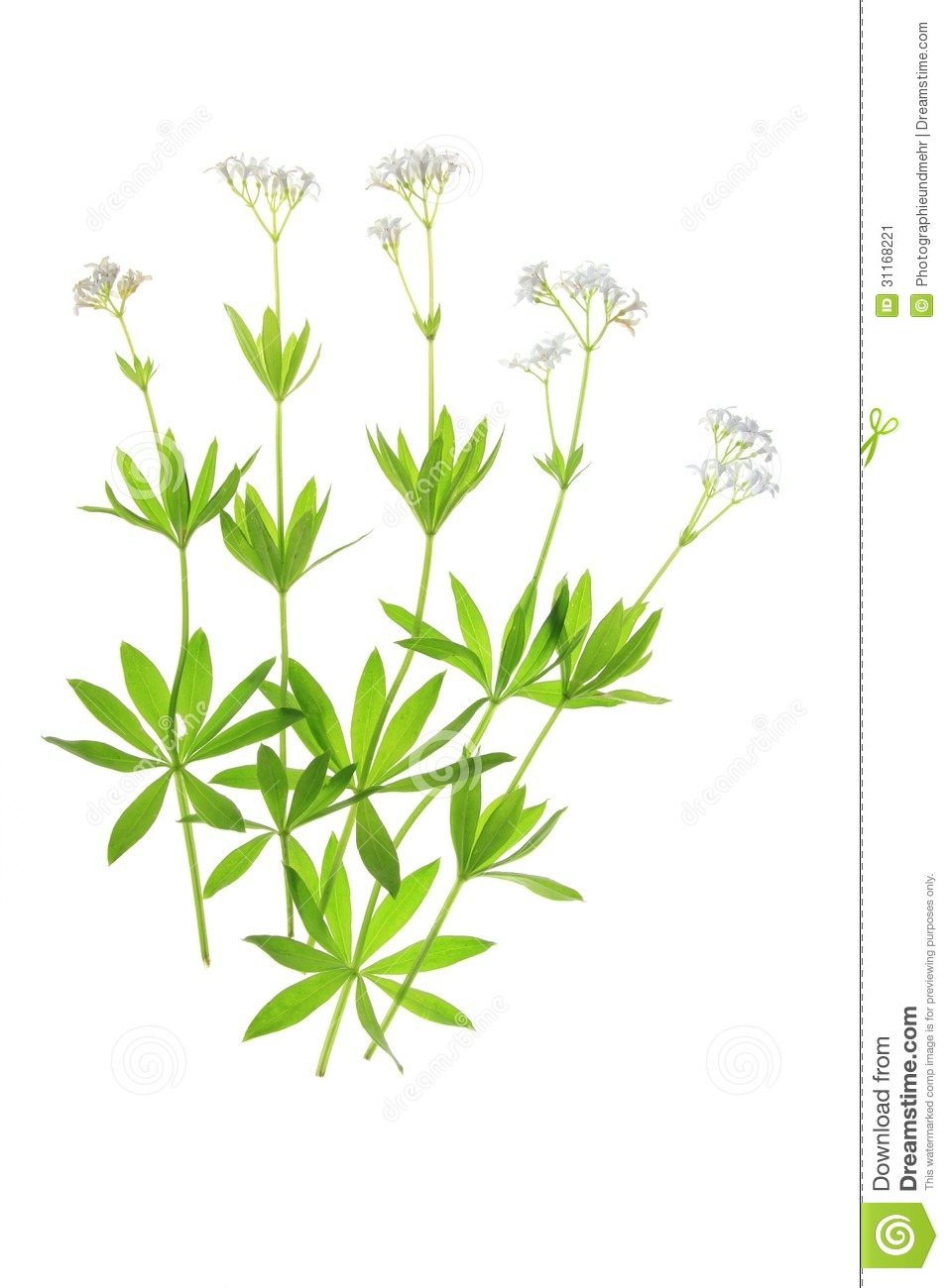 Flowering Woodruff (Galium Odoratum) Stock Image.