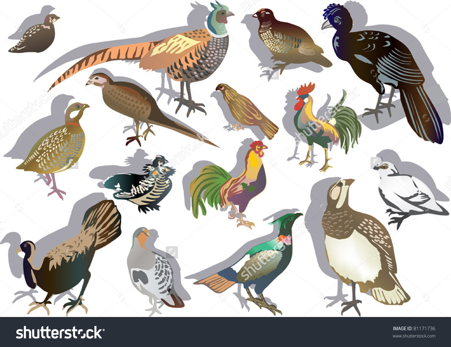 Illustration Gallinaceous Birds Isolated On White Stock Vector.