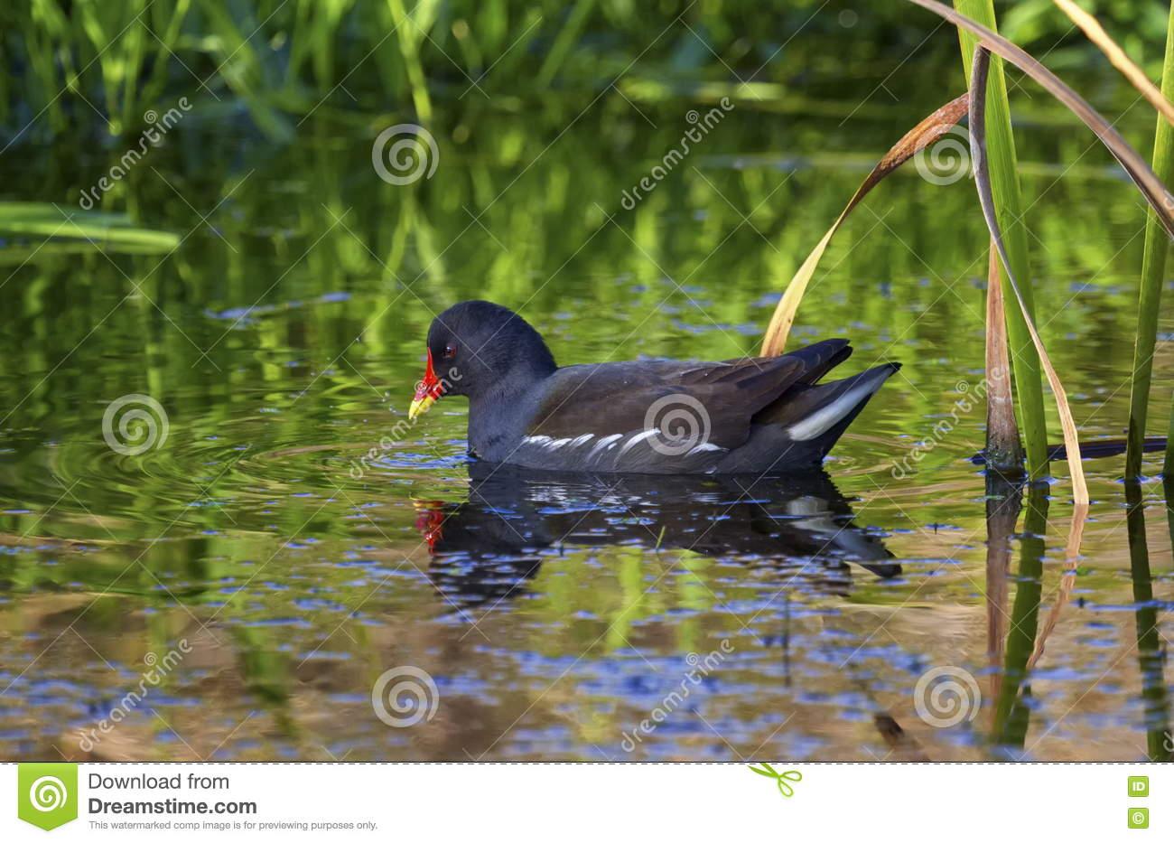 Common Moorhen Or Swamp Chicken, Gallinula Chloropus Stock Photo.