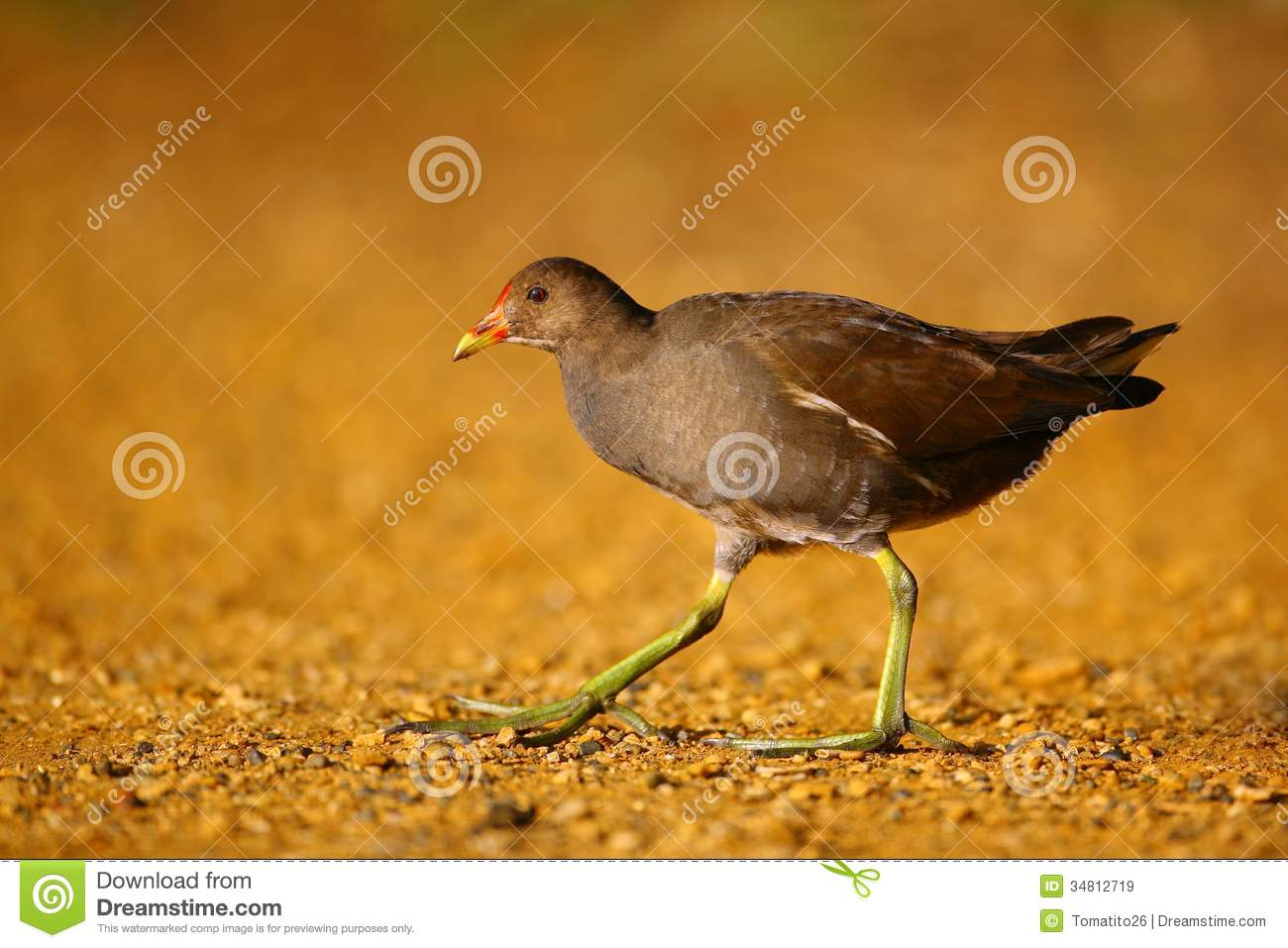 A Common Moorhen (Gallinula Chloropus) Walking By The River.