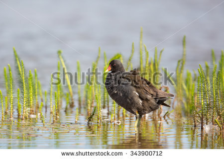 "common Waterhen"" Stock Photos, Royalty."