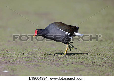 Stock Photo of Moorhen, Gallinula chloropus k19604384.
