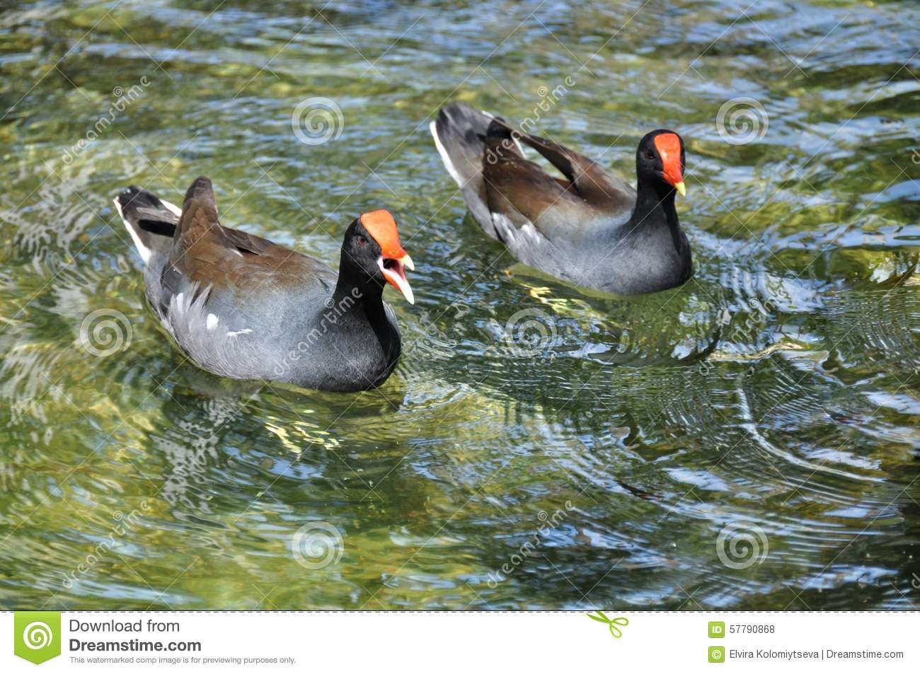 Male And Female Moorhen (lat. Gallinula Chloropus) Stock Photo.