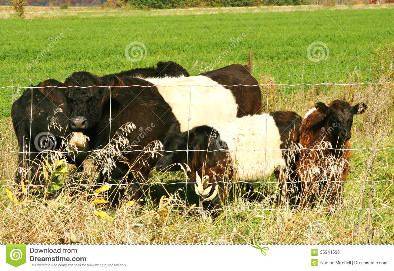 Belted Galloway Cows Royalty Free Stock Photos.