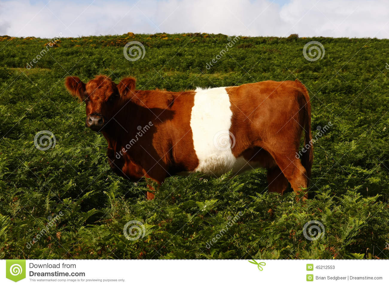 Red & White Belted Galloway Cow Stock Photo.