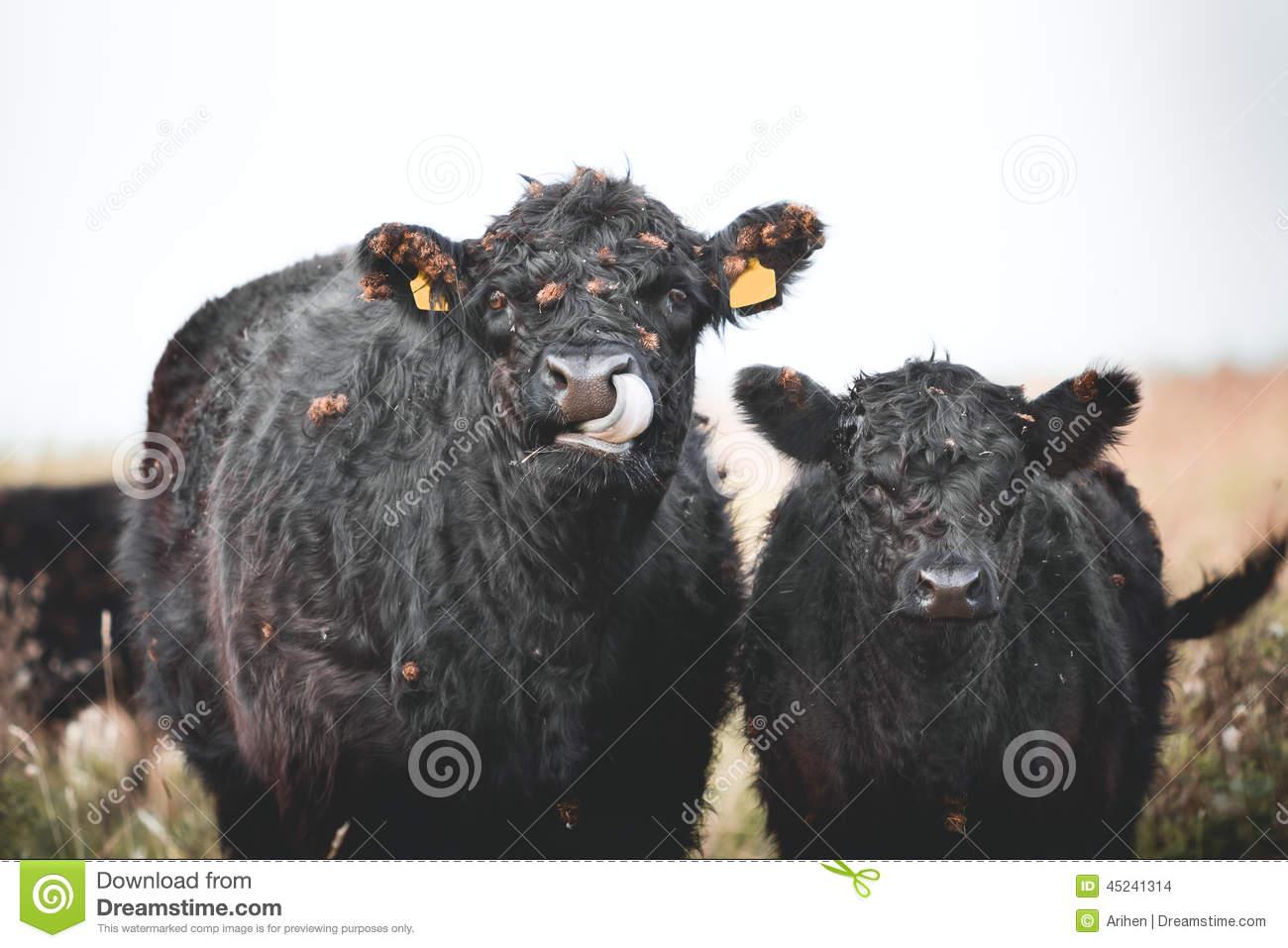 Galloway Cattle Stock Photo.