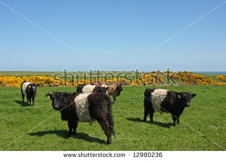 Belted Galloway Stock Photos, Royalty.