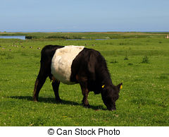 Stock Images of Galloway Cow.
