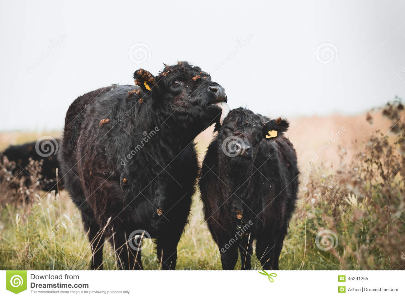 Galloway Cattle Stock Photo.