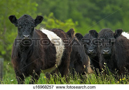 Picture of Belted Galloway cattle in pasture. Belted Galloway.