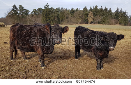 Belted Galloway Stock Images, Royalty.