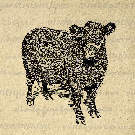 Printable Galloway Cow Image Digital Illustration Graphic Download.