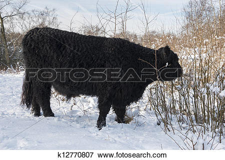 Picture of black galloway in winter landscape k12770807.