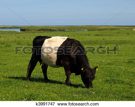 Picture of Belted Galloway k3991747.
