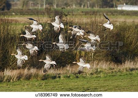 Stock Photograph of Greylag Geese (Anser anser) in flight.