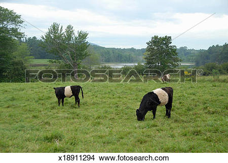 "Stock Photo of Galloway or ""Oreo"" cows in Adermere Farm, Maine."