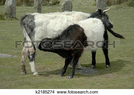 Stock Photo of Nursing Belted Galloway Calf k2185274.