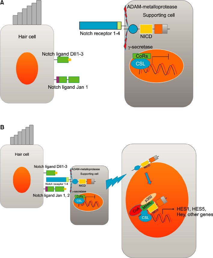 Atoh1 as a Coordinator of Sensory Hair Cell Development and.