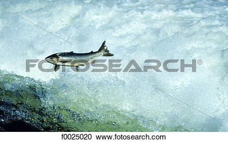 Stock Photography of Ireland, Galway, salmon jumping in Corrib.