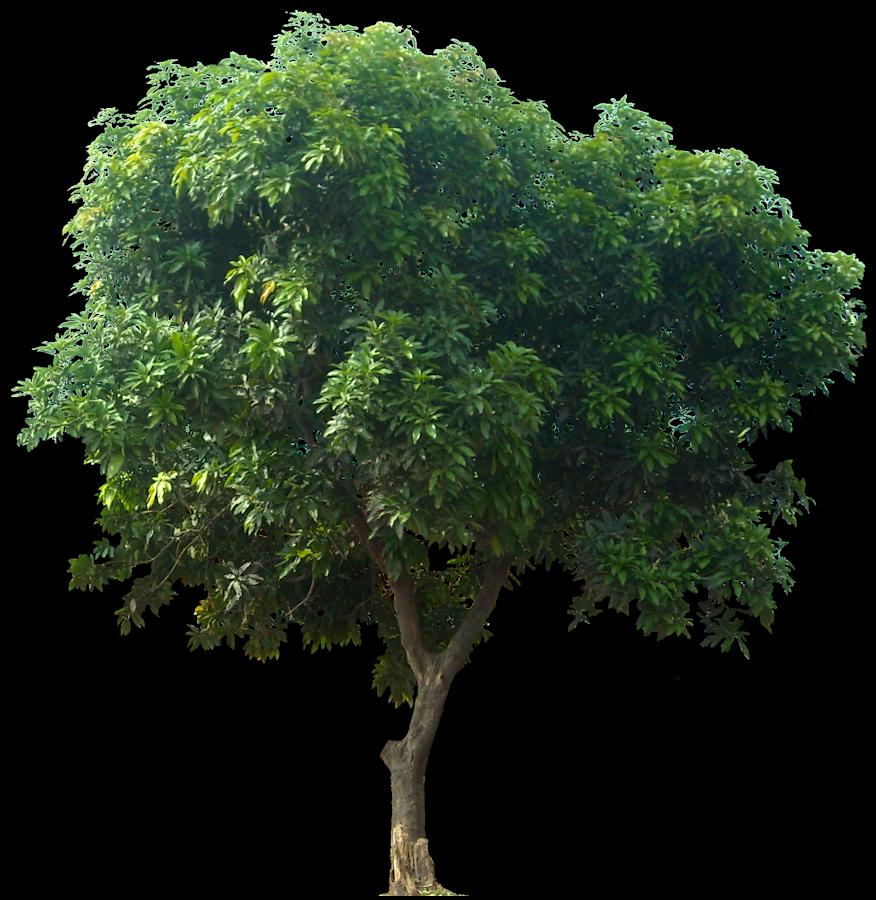 Gambar PNG Pohon Mangga #3439.