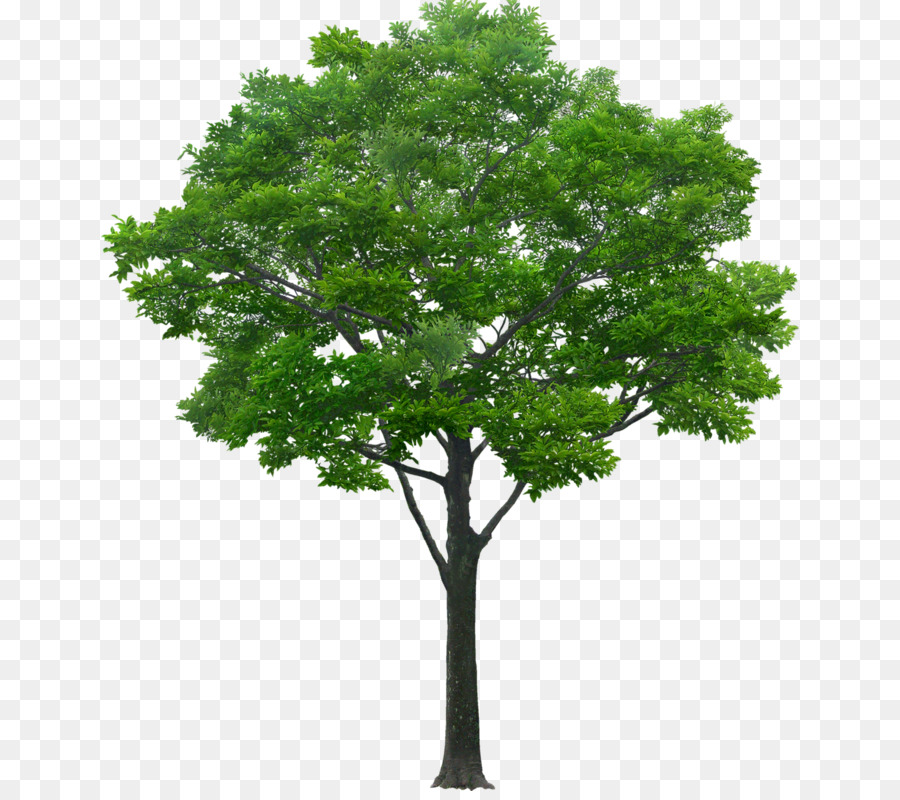 Oak Tree Leaf png download.