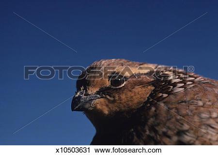Stock Photography of Bobwhite quail hen, North American upland.