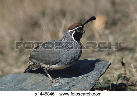 Stock Photography of Gambel's quail cock, North American upland.