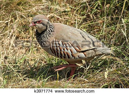 Stock Photo of British game bird Red legged Partridge (Alectoris.