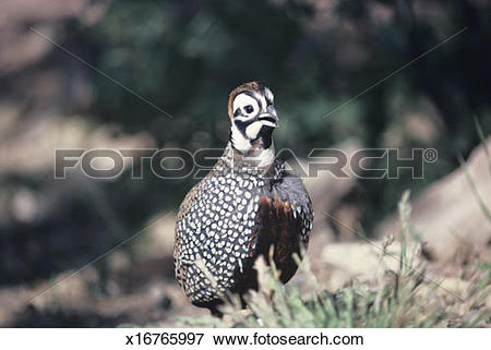 Picture of Harlequin or mearns quail cock calling, North American.