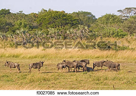 Stock Image of South Africa, Zululand, private game reserve, herd.