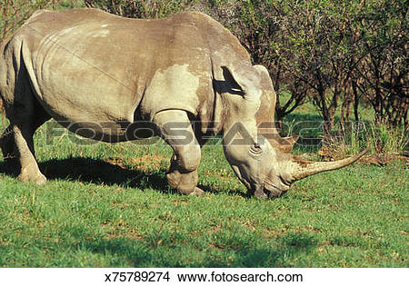 Stock Photo of Spioenkop Game Reserve, self drive game park, rhino.