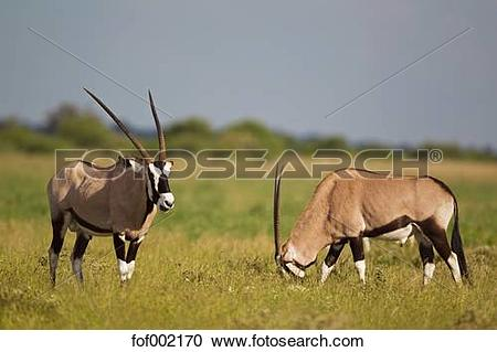 Stock Photography of Africa, Botswana, Gemsbok in central kalahari.