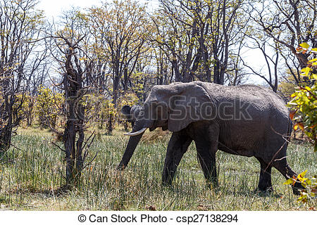 Stock Illustration of African Elephant Moremi Game reserve.