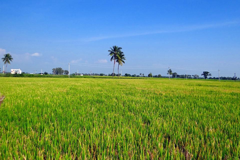 Rice, Harvest.