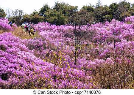 Picture of Beautiful Azalea Festival in South Korea, Ganghwa.