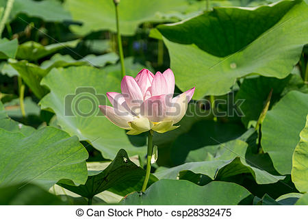 Picture of Lotus Flower.