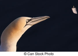 Gannet Stock Illustration Images. 40 Gannet illustrations.